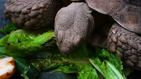 Turtle is Eating Vegetable and animal. And natural background stock video