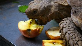 Turtle is Eating Vegetable and animal. And natural background stock footage