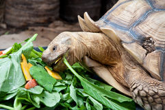 A turtle eating vegetable Stock Images