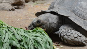 Turtle eating vegetable. In zoo stock footage