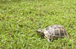 Turtle eating and walking on green grass royalty free stock photo
