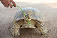Turtle eating Yard Royalty Free Stock Image
