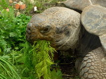 Turtle eats grass Stock Image