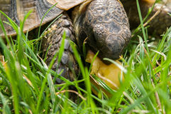 Turtle eats green grass Stock Photography