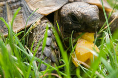 Turtle eats green grass Royalty Free Stock Photos