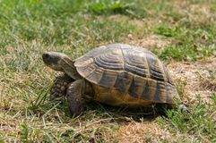 Turtle eats green grass Royalty Free Stock Photography