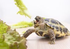 Turtle eats green lettuce, reptile, greens. Turtle eats green lettuce, shell, greens, food, 1, reptile, greens stock images