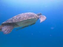 Turtle with echeneis naucrates. Sea turtle with echeneis naucrates swimming in open sea in the Pacific royalty free stock photo