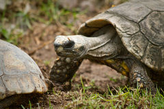 Turtle in Ecuador Royalty Free Stock Photography
