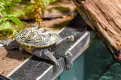Turtle on the edge. Royalty Free Stock Photo