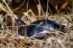 Turtle on Edge of Lake Royalty Free Stock Images