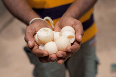 Turtle eggs. Hand holding turtle eggs at a turtle farm in Sri Lanka, Asia Stock Image