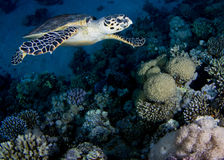 Turtle. Egypt. Panorama reef Stock Images