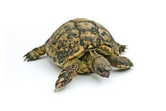 Turtle Emma. Old Turtle Royalty Free Stock Images