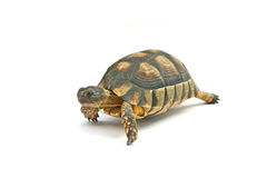 Turtle Emma. Old Turtle royalty free stock photo