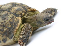 Turtle Emma. Old Turtle royalty free stock image