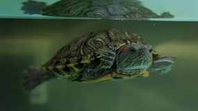 Turtle. Enjoying a dip in the tank at the Museum of Natural History in Ruse, Bulgaria Stock Photography