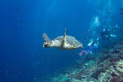 Turtle Escape. A turtle escapes the scuba divers Stock Photos