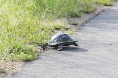 Turtle escaping from street inside Kruger National Park Stock Photography