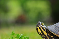 Turtle Eye Royalty Free Stock Images