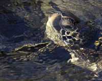 Turtle Eye Stock Photography
