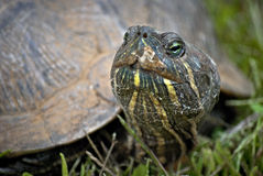 Turtle Face Stock Image