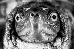 Turtle Face Black And White Stock Photography