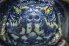 Turtle face close up image. Royalty Free Stock Images