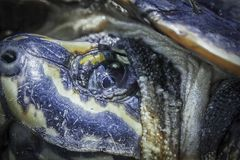 Turtle face with eye side close up image Royalty Free Stock Images