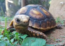 Turtle face 2. Second picture of beautiful turtle royalty free stock photo