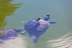 Turtle Family Stock Photos