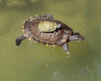 Turtle family Stock Image