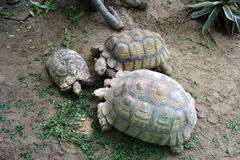 Turtle family. A turtle happy family in the zoo royalty free stock images