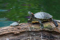 Turtle family having rest in the park Stock Image