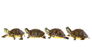 Turtle family on parade Royalty Free Stock Photos