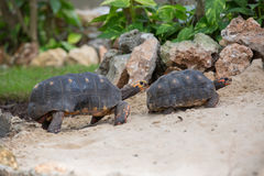 Turtle family race Stock Image