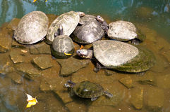 Turtle Family Royalty Free Stock Photography