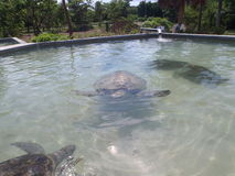 Turtle Farm in Grand Caymen Stock Images