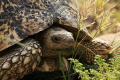 Turtle by feeding Royalty Free Stock Images