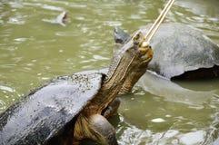 Turtle feeding cucumber Stock Photos