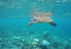 Turtle floating in the Maldives Royalty Free Stock Image