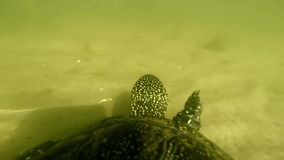 Turtle floating in water. With a natural sound stock video footage