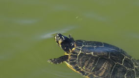 Turtle floating in the waters of a lake stock video
