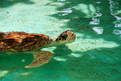 Turtle. The turtle floats in a pond Stock Images