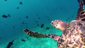 A turtle floats upwards. A turtle dives to fetch air stock video