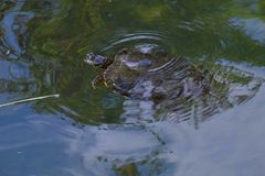 Turtle in a pond. royalty free stock images