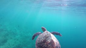 A turtle floats on the water surface stock video footage