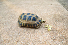 Turtle on the floor eating banana Stock Images