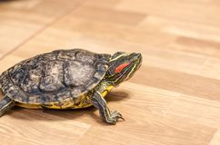 A turtle on the floor at home stock image