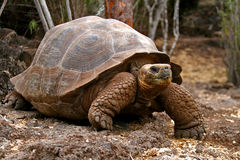 A turtle in the forest. A turtle in ine forest in brown colour royalty free stock photos